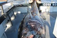 bluefin14